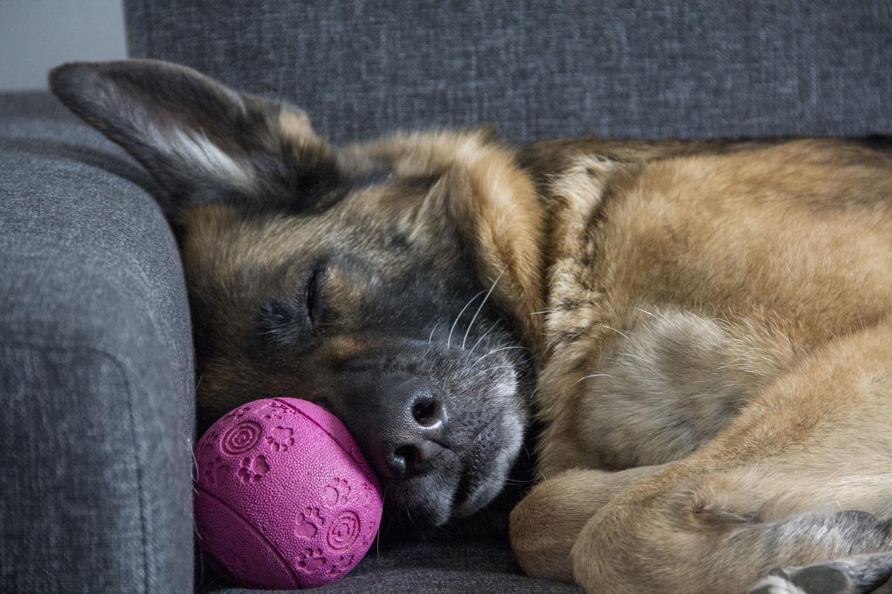 Bezdech senny: czy mój pies to ma?